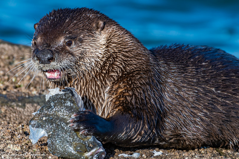 River Otter with flounder 3 (1 of 1).jpg