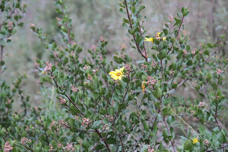 California Bush Sunflower, Encelia californica with Lemonadeberry, Rhus integrifolia
