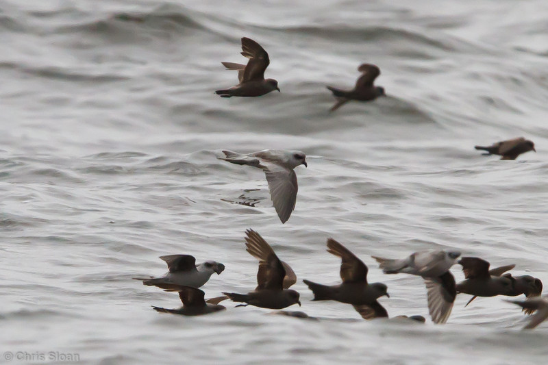 Fork-tailed Storm-Petrel with Ashy Storm-Petrels at pelagic out of Bodega Bay, CA (10-15-2011) - 153.jpg