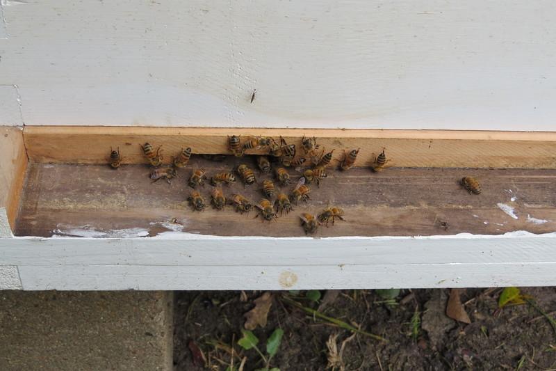 bees at entrance of my hive.JPG