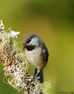 Boreal Chickadee, Poecile hudsonicus