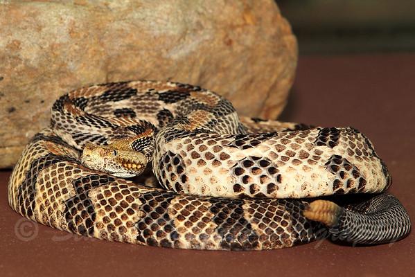 Venomous Snake Seminar 06-16-2013