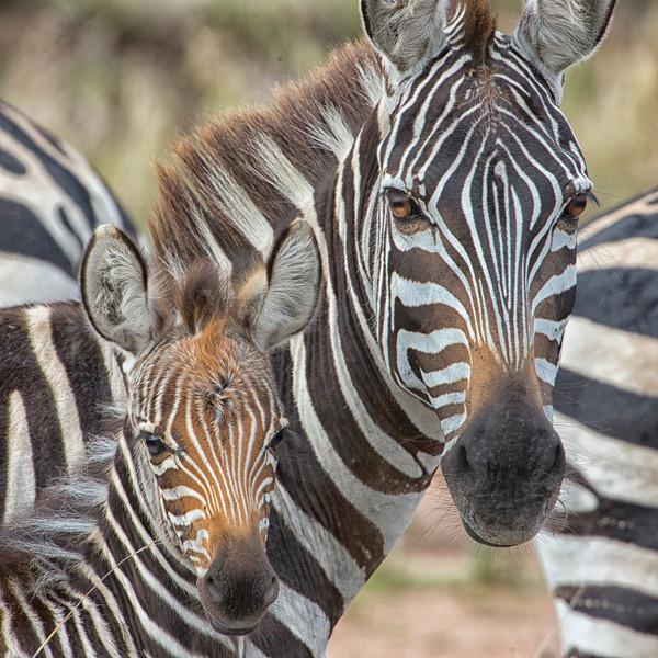 Serengeti_12_2013_Zebra_FH0T8223.jpg