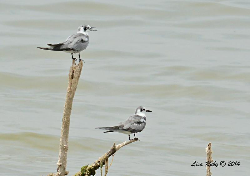 Black Terns   - 7/27/2014 - Salton Sea
