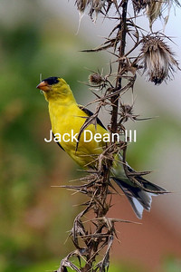 American Goldfinch 3