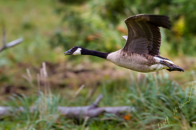 Giant Canada goose (Branta canadensis maxima) in flight, Knight Inlet, British Columbia, Canada