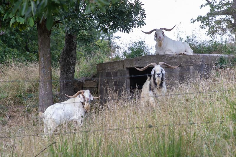20190721-NewtonCountyAR-FireTowerRoad-Goats-2.jpg