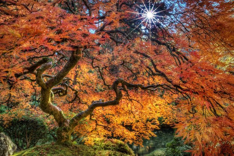 Japanese Maple, Autumn, Study 1, Japanese Garden, Portland, OR