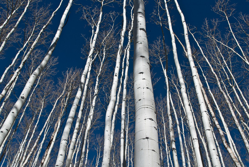 tmophoto_winter aspen trees.jpg