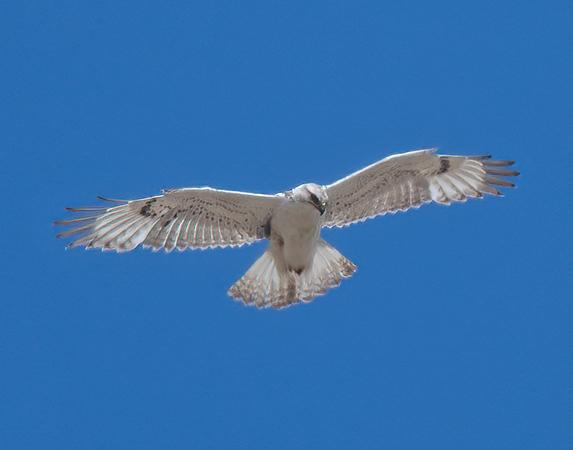 Ferruginous Hawk-208