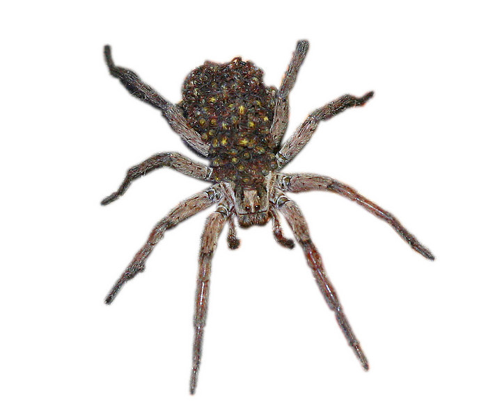 Wolf spider with babies on her back.