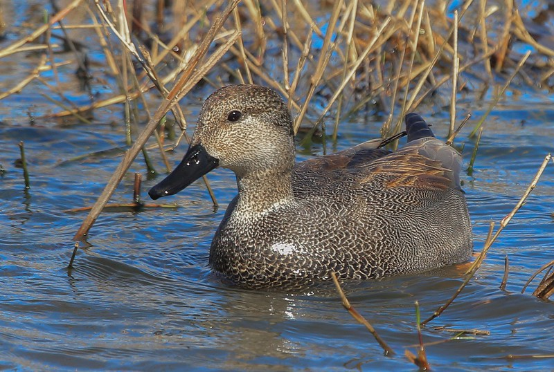 zzAnahuac,2-16-16 366A Gadwall from front.jpg