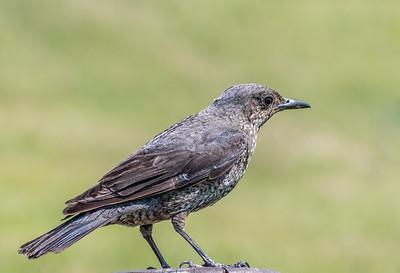 Blue Rock-thrush [Monticola solitarius]