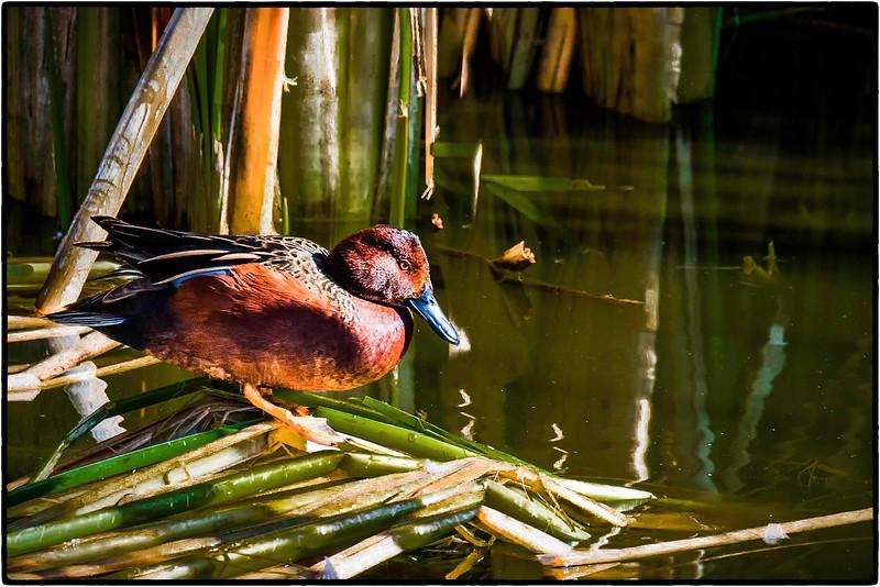111.Mike Despot.1.The Duck.jpg