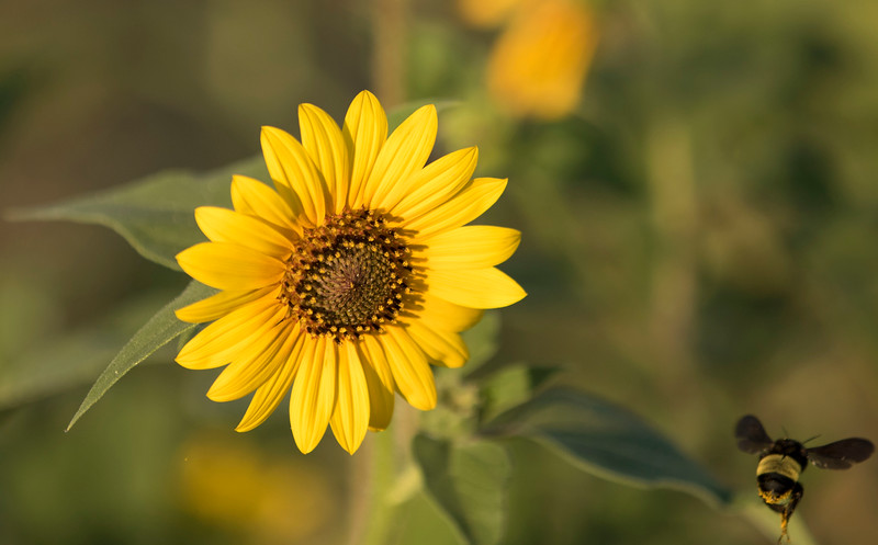 BumbeBee_SunFlower_Mother Neff State Park -3336.jpg