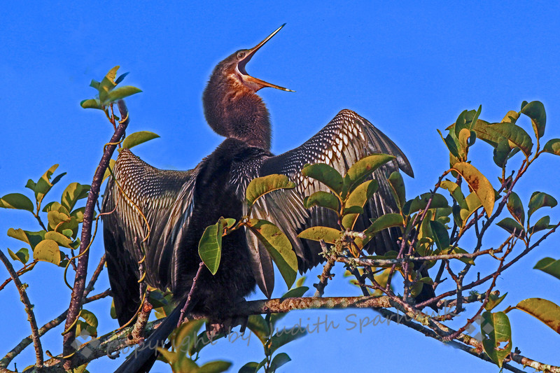 Anhinga Aria ~ This Anhinga looked like he was either singing opera, or maybe just yawning.  At any rate, I thought it was a funny look.  This photograph was taken on the Anhinga Trail at Royal Palms in the Everglades.