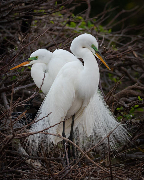 Swooning Egrets-5802.jpg