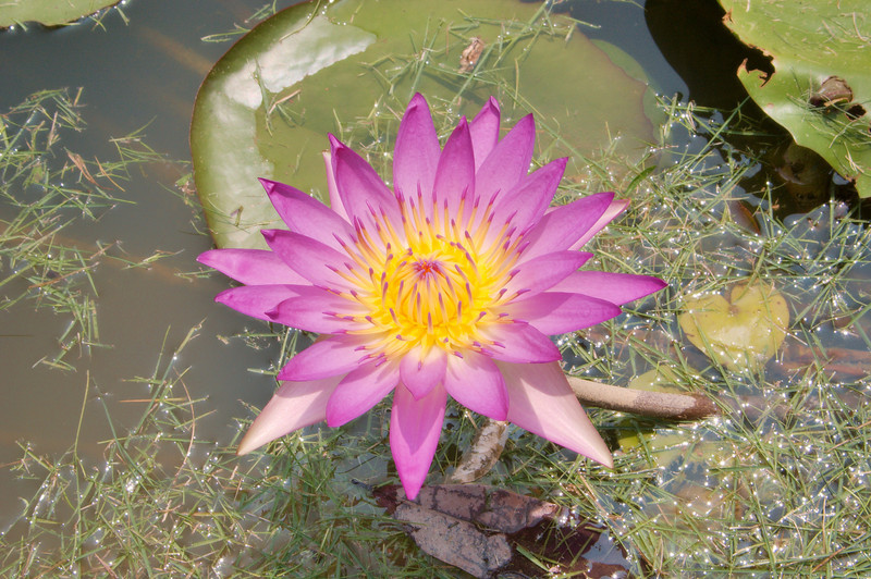 20090901_3179 water lily