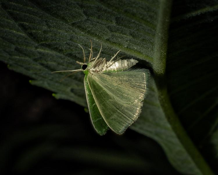 Wavy-Lined Emerald Moth - 7-26-18.jpg