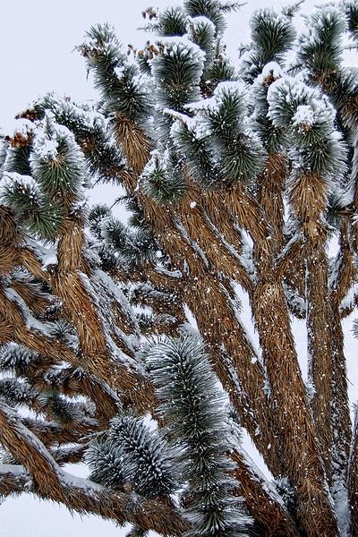 Snowy Joshua Trees