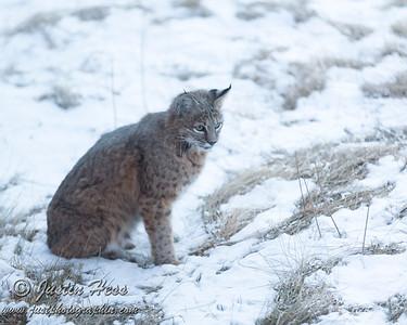 Bobcat 11-17-2015