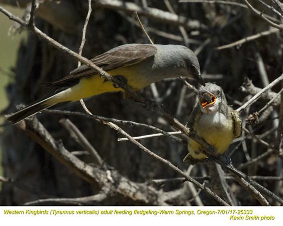 Western Kingbirds A&J25333.jpg