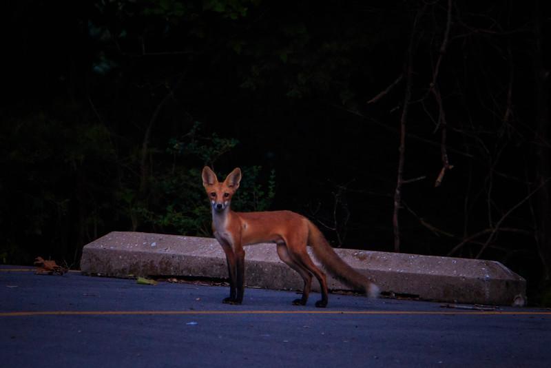 8.9.18 - Prairie Creek Recreation Area: Red Fox