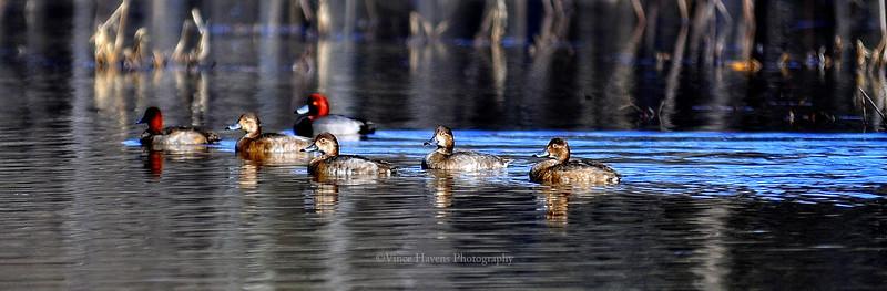 Red Head Ducks