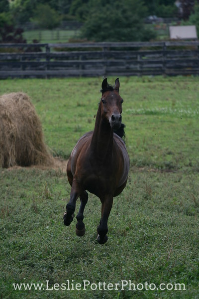 Bay Anglo-Arabian Horse Running in Pasture
