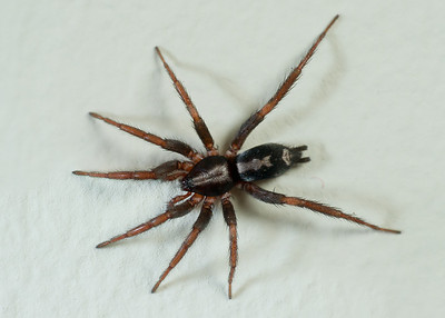 Ground spiders (Gnaphosidae)