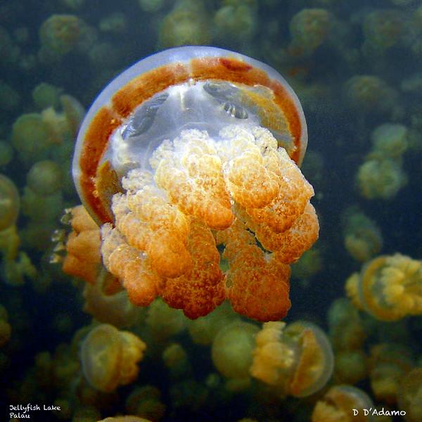 Jellyfish<br /> Jellyfish Lake Palau