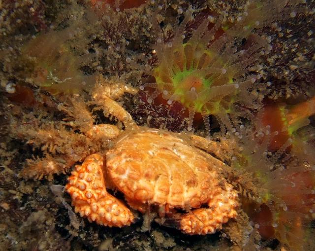 Phil Garner Wreck of the Avalon Palos Verdes Lumpy rubble crab, Paraxanthias taylori fuji e900