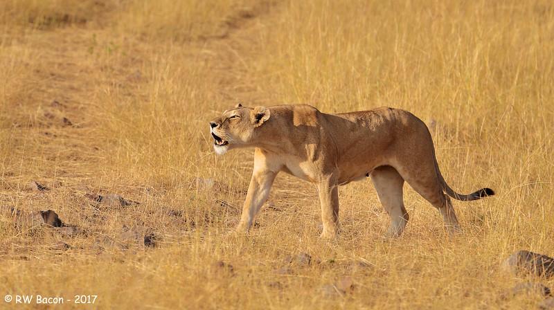 Lioness Roar.jpg