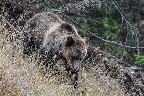 9-22-17 Bella Coola - Grizzly Named Perfect - Fishing