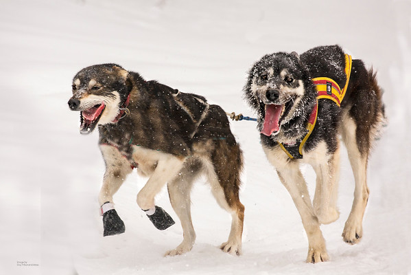 Wolftrack Sled Dog Race 2016