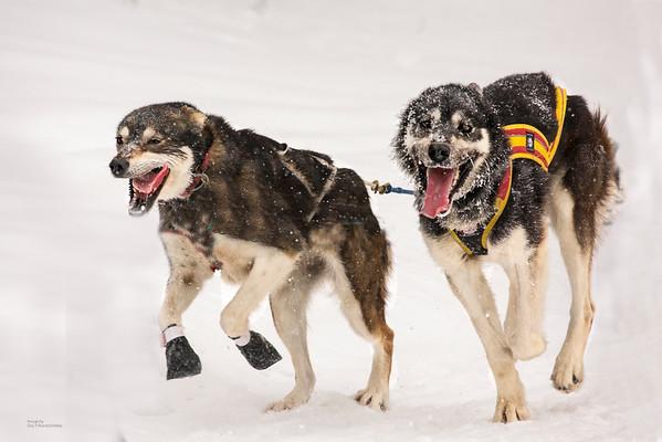 Wolftrack Sled Dog Race 2016