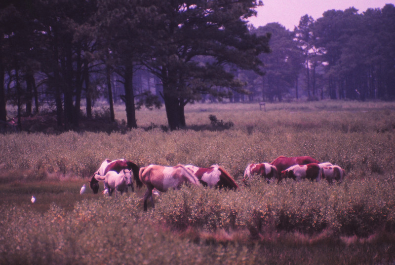 Chincoteague 1981-07 023.jpg