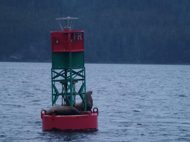 Stellar sea lions on the buoy