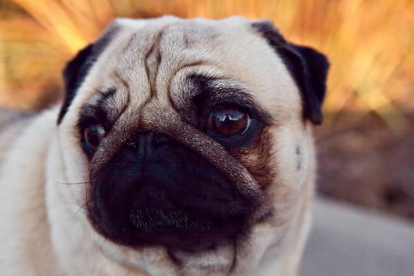 Liza, the Pug Dog