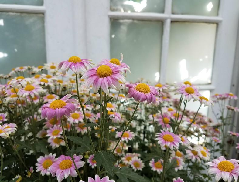 a type of chrysanthemum