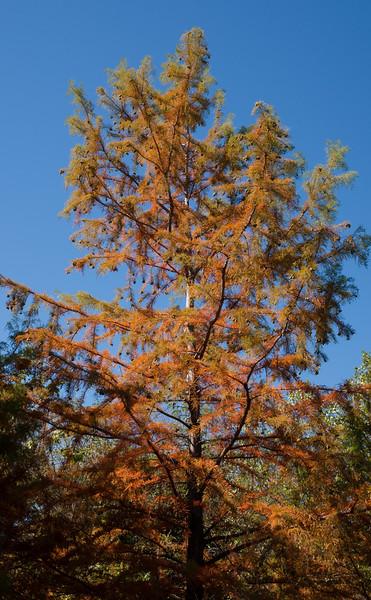 Fall colors -- Bald Cypress