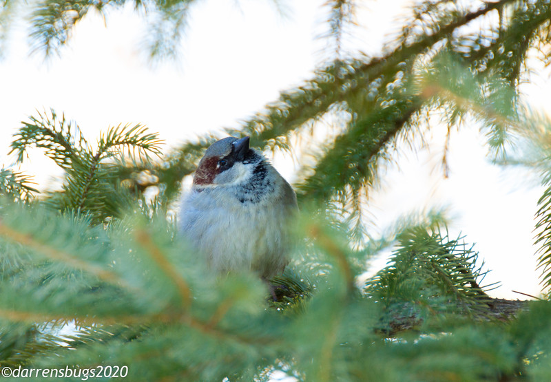 Passer domesticus, possibly the most common bird in the world.
