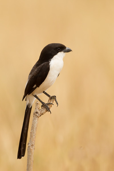 Common Fiscal (Fiscal Shrike) - Tarangire National Park, Tanzania
