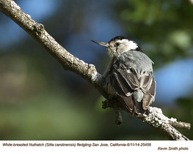 White-breasted Nuthatch J25456.jpg