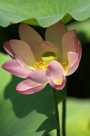 Lotus Flowers at Beihai Park, Beijing