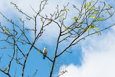 Amazon hawk perched on a tree limb