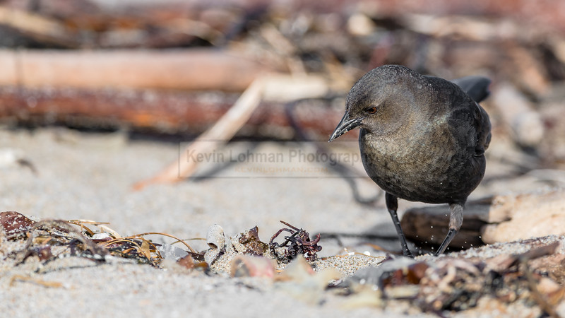 Brewer's Blackbird Searching for Food
