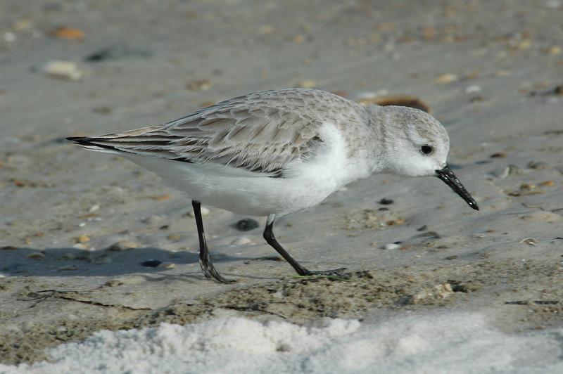 Sanderling - St. George Island State Park, FL - 01