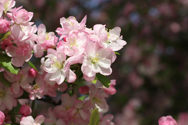 NWMSU-flowers