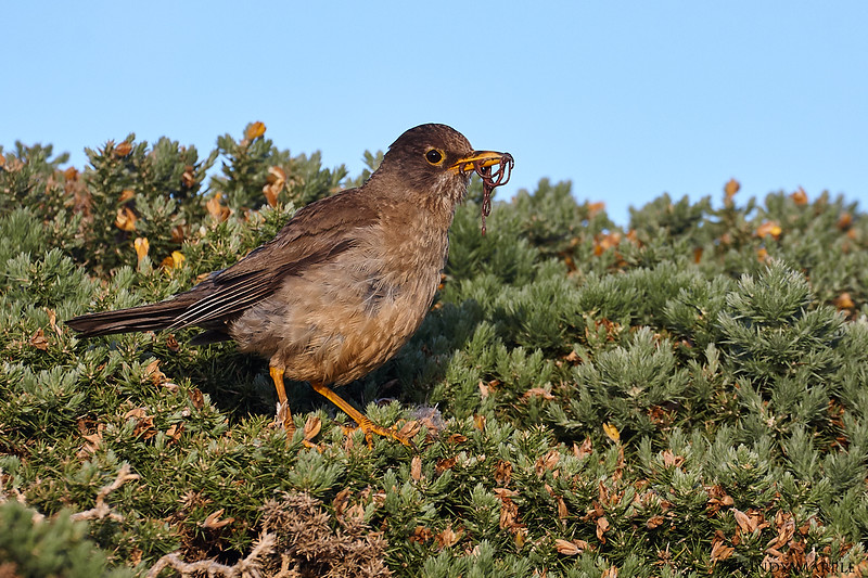 Falkland_Thrush_5.jpg